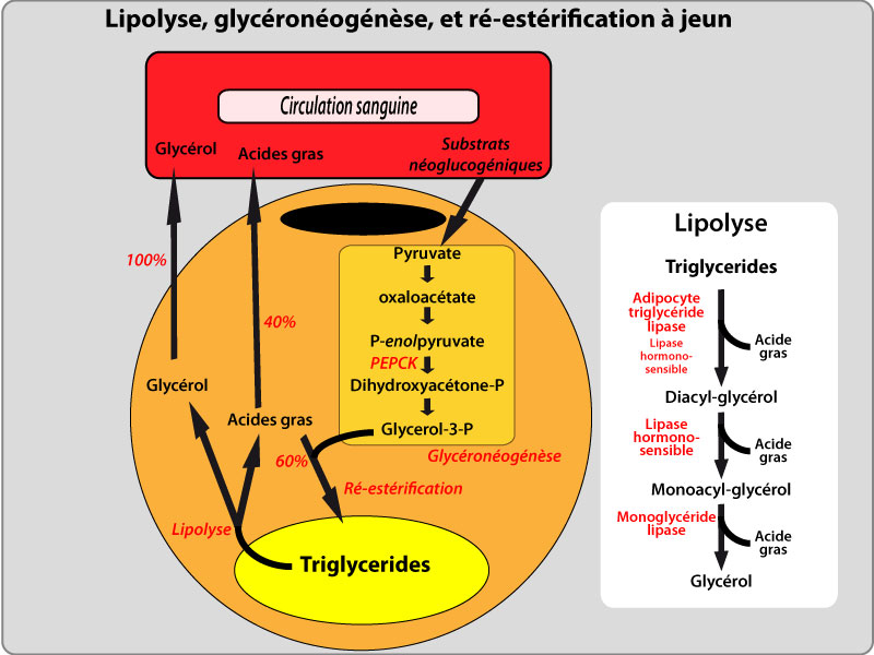 Biothermodynamics :
