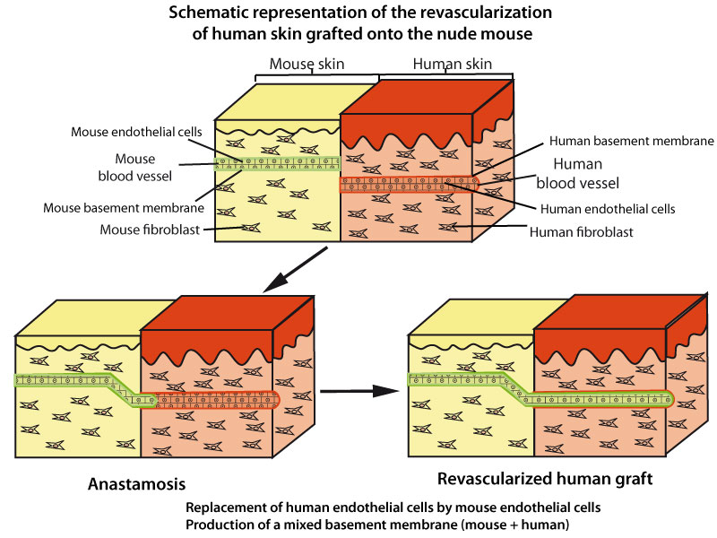 cells produce their own basement membrane above the pre existing ones