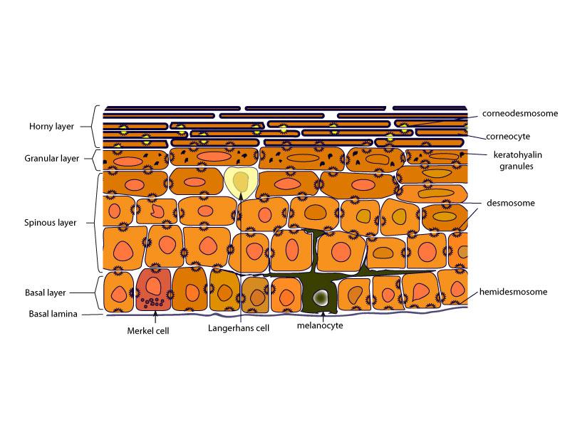 translucent cells containing keratin