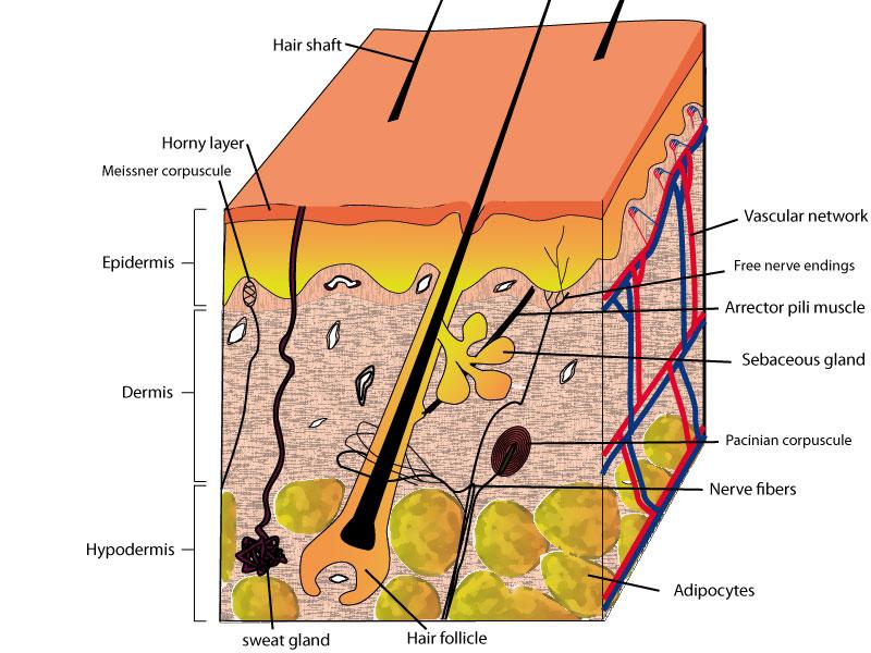 Normal Human Skin Biologie De La Peau